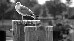 rest area... (jose_abc) Tags: newhampshire usa bird oiseau sea ocean mer blackwhite noiretblanc noirblanc lumire lumiere light port seaside seagull mouette