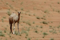 Glorious desert in Oman (RadioKate) Tags: oman oman2016 travel travelogue camel camels animals desert sand dunes omanidesert beauty