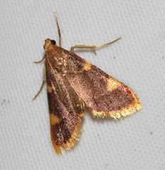 Clover Hayworm, Hypsopygia costalis (Victor W. Fazio III) Tags: tiffin ohio fauna lepidoptera cloverhayworm hypsopygiacostalis
