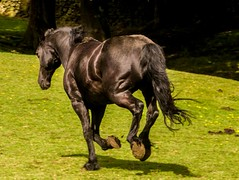 galloping black beauty  crop (PDKImages) Tags: horse equine beauty black gallop movement animal run sleek blackbeauty yorkshire