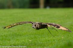 Indian eagle-owl (captive) (Wild About.......) Tags: 1d4 bengaleagleowl birds bubobengalensis cotswolds fauna flightshot icbp indianeagleowl internationalcentreforbirdsofprey nature naturephotography uk unitedkingdom wildlife rockeagleowl