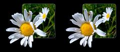 Hoverfly on Daisy - Parallel 3D (DarkOnus) Tags: pennsylvania buckscounty huawei mate8 cell phone 3d stereogram stereography stereo darkonus closeup macro insect fly hoverfly daisy daisies ttw oob oof parallel