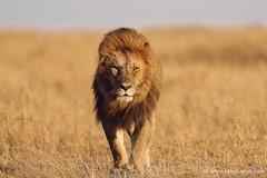 The King arrives (Usha Harish) Tags: africa nature wildlife canon1dxmarkii carnivore predator bigcat