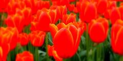THE WORLD'S FAVOURTIE  TULIP (elliott.lani) Tags: vibrant orange brilliant bright bold beautiful