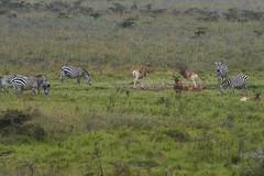 The Plains (paulinuk99999 - just no time :() Tags: paulinuk99999 wildlife niarobi national park sal70400g kenya