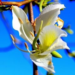 Wholehearted Beauty (Sonja Mller) Tags: purity white wholehearted beauty creation precious flower blue sky god