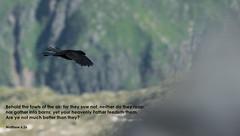 God cares for you! (Tobiasvde) Tags: alpenkouw alpen alps birds bird vogel nikon d800e nikkor 70200 bijbel verse bible bibel matthew 626 matteus