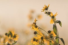 Season of Mist (SF knitter) Tags: halfdayforestpreserve illinois lakecounty lakecountyforestpreserves dew flower fog mist preserves sunflower interesting ai like negative space