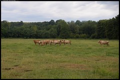 DSZ_4764-30-08-2016 - Centro Parco Geraci (r.zap) Tags: centoparcogeraci rzap parcodelticino mottavisconti mucche