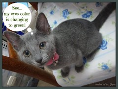"""Marin says, """"See... my eyes color is changing to green!"""" (martian cat) Tags: russianblue macro kitty marin kitten kittycat cat pet martiancatinjapan allrightsreserved allrightsreserved martiancatinjapan martiancatinjapan martiancatinjapan yokohama littlegirl girlkitten female allrightsreserved allrightsreserved motivationalposter motivational captioncollection"""