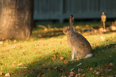 White-tailed Jack Rabbit! (Canon Queen Rocks (1,050,000 + views)) Tags: jackrabbit animals wildlife wild ears cute nature whitetailed