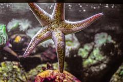 Stella Marina - Oceanario Lisbona (antoniosimula) Tags: oceanario lisbon lisbona lisboa portogallo portugal area expo fish flora fauna nikon d3200 35mm 70300 tamaron ocean species pacific atlantic indian