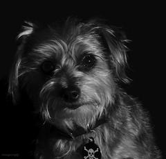 Brandi B&W Portrait (newagecrap) Tags: california dog dogs losangeles canine terrier southerncalifornia straydog sanfernandovalley northhills rescuedog branmuffin losangelescounty terriermix brandidog northhillscalifornia brandimagee