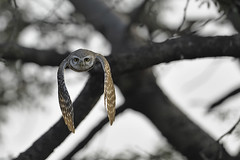 ADS_176 (dickysingh) Tags: wild india color bird nature animal forest fly wings eyes wildlife jungle owl stare predator alert spottedowlet athenebrama ranthambhorenationalpark flightflying smallowl wwwranthambhorecom
