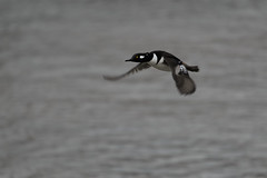Hooded Merganser_40744.jpg (Mully410 * Images) Tags: winter snow cold bird ice birds birding birdsinflight birdwatching birder merganser hoodedmerganser minnesotariver burdr mrvnwr minnesotarivervalleynationalwildliferefuge