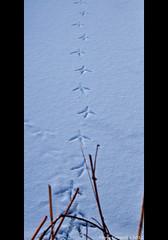 Follow me...... (Marjo1963) Tags: snow bird ice sneeuw footprints vogel ijs 012013