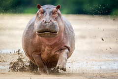 Hippo Charge (Burrard-Lucas Wildlife Photography) Tags: purple angry hippo charge zambia