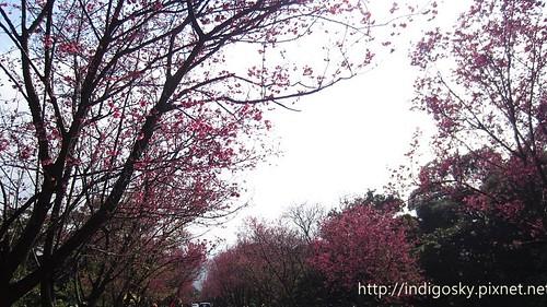 北投賞櫻-IMG_8454