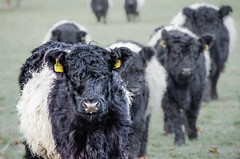 Belted Galloway (Peter J Moore) Tags: cows meadow fluffy beltedgalloway beautifulworldchallenges