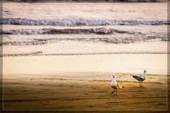 Te estoy viendo ~ I'm watching you (Seryo) Tags: sea wallpaper bird argentina argentine canon landscape 350d mar sand buenosaires playa paisaje arena gaviota pjaro tresarroyos seryo claromec mg0886 otraspalabrasclave