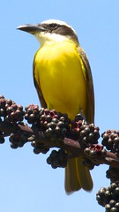 Bentivi na hora do almoço (jeduardofn ~ Brasil) Tags: bird brasília natureza pássaro pitangussulphuratus bentivi