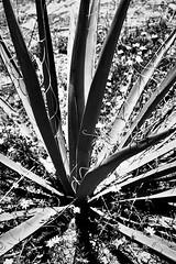 Untitled (^ autumn deluded) Tags: california blackandwhite cali cacti reserve lajolla yellowflower pines torrey californiastatepark naturephotography desertflower statereserve