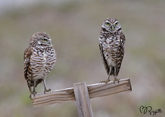 "Burrowing Owls ""Valentine's Day"" (girlslens) Tags: florida owl burrowingowl"
