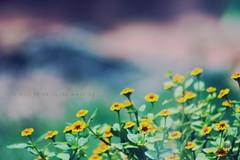 O vazio me encanta {parte 2} (.Pedro Soares.) Tags: flowers flores flower verde green nature yellow canon focus quote empty natureza flor amarelo simplicity ok simple foco simplicidade vazio canonxsi pedrosoaresphotography