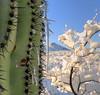 CACTUS SICKLES (Krieger Conradt) Tags: southwest sunrise tucson saguaro sonorandesert desertlandscape snowscape desertstorm desertsnow tucsonarizona saguarocactus desertsouthwest rinconmountains desertscape icesickles rinconvalley desertsetting desertbeauty southwestimages arizonasouthwestsunrisecactussaguarodesertsonorandesert