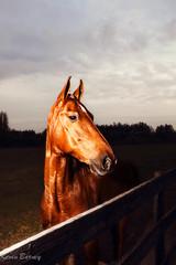 Buster (Saddlebred) (klick4) Tags: horses equine saddlebreds