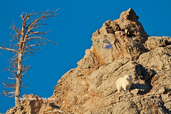 Goat-rock-goat-57926.jpg (Daryl L. Hunter - The Hole Picture) Tags: usa unitedstates alpine wyoming snakeriverrange mountaingoatonacliff