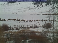 Web cam: National Elk Refuge, Jackson WY (V. C. Wald) Tags: webcam elk baldeagles nationalelkrefuge