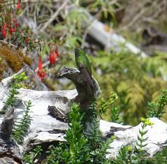 Hispaniolan Emerald (tapaculo99) Tags: birds hummingbird dominicanrepublic aves picoduarte chlorostilbonswainsonii hispaniolanemerald
