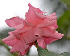 1 (RUMTIME) Tags: flower rose queensland coochiemudlo amazingdetails silveramazingdetail goldamazingdetails