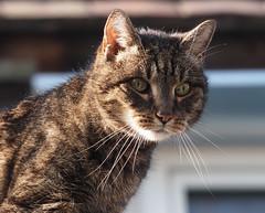 Domino (arjuna_zbycho) Tags: pet cats pets cute animal animals cat austria sterreich kitten feline chat kitty kittens gato gatto katzen haustier niedersterreich tier gattini rakousko hauskatze domisia
