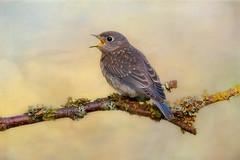 Baby Bluebird (Phiddy1) Tags: toronto ontario canada birds ngc npc bluebird easternbluebird photomix specanimal magicunicornverybest magicunicornmasterpiece ruby10 galleryoffantasticshots creativephotocafe