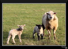 Family (Paula Ordua Photography) Tags: family animal familia project day sheep lamb 105 da oveja proyecto cordero