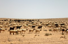 Herd. (Louise de Cours) Tags: summer art nature animal canon photography desert sheep tunisia