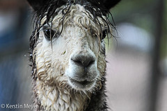 raindrops are falling on my head . . . (kerstin_meyer) Tags: white black alpaca rain canon germany regen alpaka