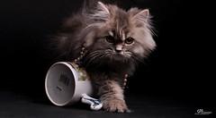 Cat9661 (64) (Cat9661) Tags: animals cat حيوانات مون قطط هاف بسة فيس شيرازي بيكي بساس هملايا