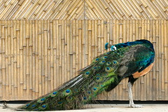 Peacockery (eric_hevesy) Tags: china bird colorful chinese feathers peacock bamboo simple