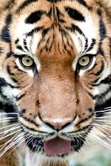 Wild Eyes (Mark Dumont) Tags: animal animals zoo eyes mark cincinnati tiger malayan malaysian dumont explored