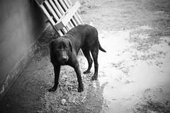 mojado (petrosko) Tags: blackandwhite bw dog byn blancoynegro rain blackwhite lluvia agua chuva bn perro cachorro bp biancoenero blanconegro bep brancoepreto