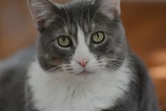 D7100 First Shot (iPlaid34 (sooooo busy - catching up soon!)) Tags: portrait test cat nikon kitty stumpy stump jpeg newcamera firstshot d7100 d7000