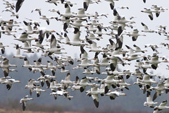 Departing Snow Geese Flock (Chen caerulescens) (absencesix) Tags: motion nature birds animals march flying washington unitedstates wildlife birding noflash northamerica birdsinflight skagit locations stanwood flockofbirds wildanimals 400mm iso500 2013 400mmf28 geo:state=washington exif:iso_speed=500 eideroad activityaction apertureprioritymode hasmetastyletag hascameratype haslenstype selfrating4stars exif:focal_length=400mm snowgoosechencaerulescens camera:make=nikoncorporation 1800secatf50 exif:make=nikoncorporation geo:countrys=unitedstates exif:aperture=50 subjectdistanceunknown geo:city=stanwood nikond800e exif:model=nikond800e camera:model=nikond800e exif:lens=4000mmf28 march162013 nikkor400mmf28gedafsvr ducksgeeseandswansfamilyanatidae geo:lat=48235157 geo:lon=12237810789 48147n1222241w stanwoodwashingtonunitedstates