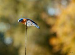 Mr. Blue Bird (grandalloliver) Tags: blue color nature beauty birds animal canon florida bokeh pensacola topaz canonef70200mmf4l rebelxsi canonxsi topazadjust grandalloliver grandalloliverphoto