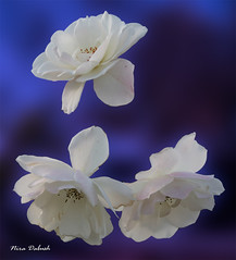 Roses of the Night (Nira Dabush) Tags: flower floral photography design fineart ישראל צילום כחול ורד לבן textiledesigner צלמת ורדים עיצובטקסטיל niradabushphotographer