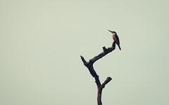 Kingfisher (Mh Mehedi) Tags: bird kingfisher pakhi kingfisherbird sundarbanbirds bdbird mhmehedi kingfisherbd