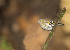 Female Siskin, Carduelis spinus. Winter. UK (PANDOOZY PHOTOS) Tags: uk winter female finch siskin fringillidae carduelis spinus siskins