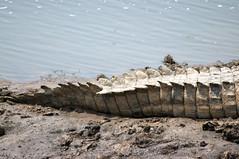 Croc tail, Masai Mara Kenya (LimeWave Photo) Tags: africa travel wild nature animal animals fauna nationalpark kenya reptile wildlife tail adventure safari crocodile croc predator maasai savanna masaimara riftvalley eastafrica rift limewave jksafaris